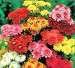 chrysanthiums  allergy common