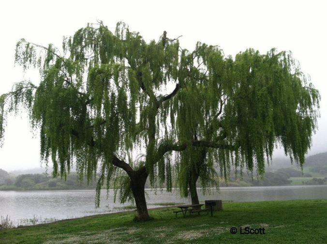 weeping willow for blog final version