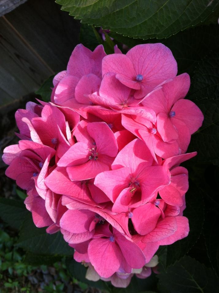 pink hydrangae