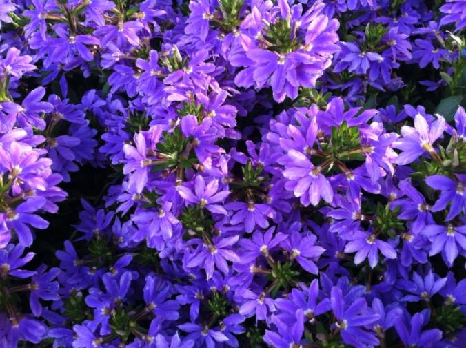 purple gazanias