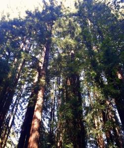 Redwoods edited for blog 2013