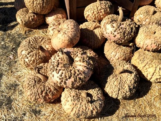 peanut pumpkins