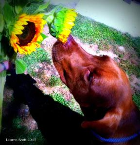 Copper smelling the flowers-photo by my daughter.