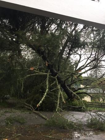 falling-tree-jan-2017-3