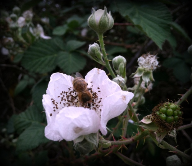 Bee at Pt Reyes