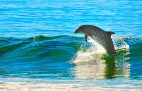 dolphin in the waves
