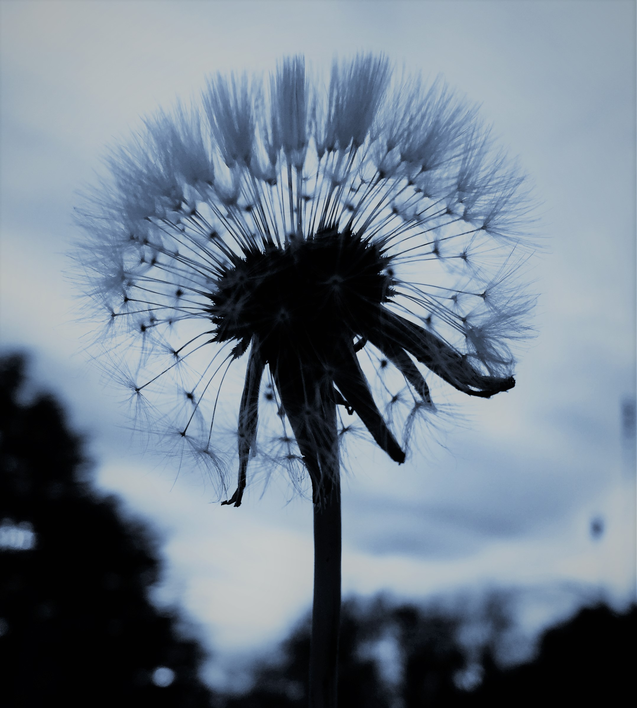 dandelion arctic
