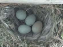 finch nest on gazebo