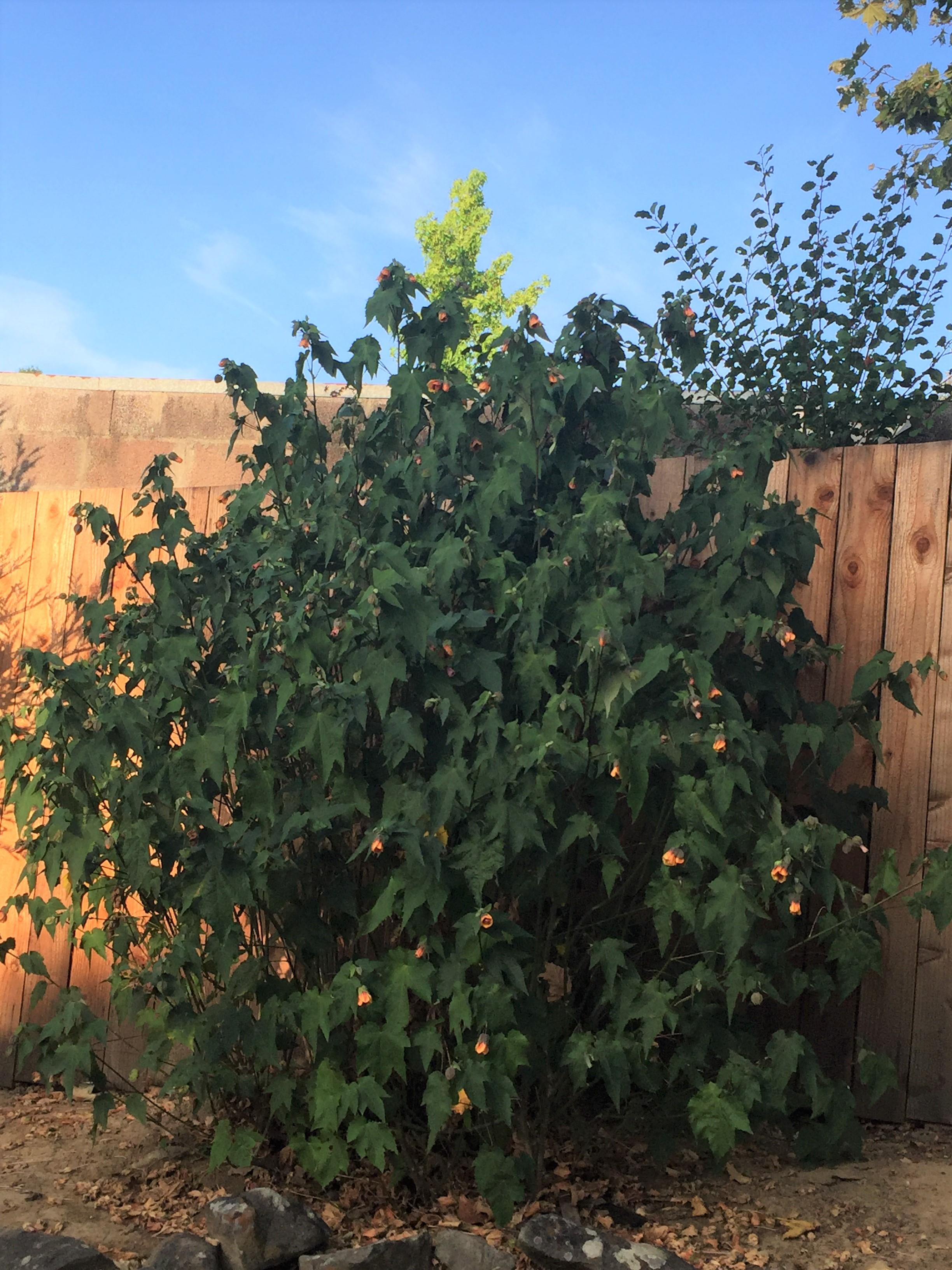 abutilon bush