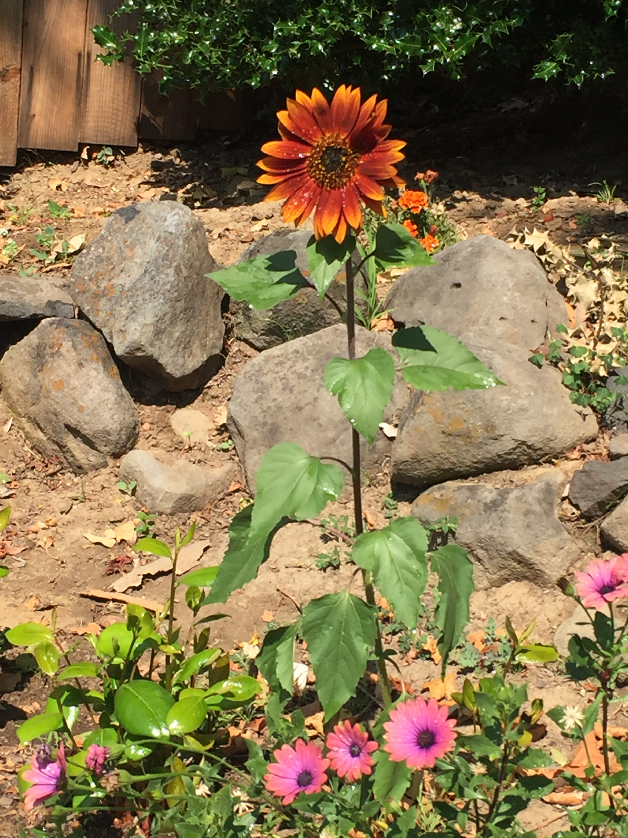 the fighter sunflower