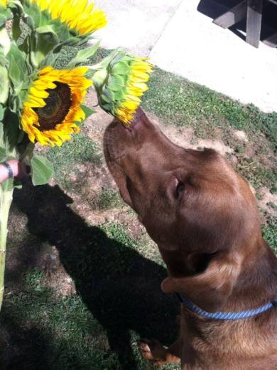 Copper smelling the flowers by Steph